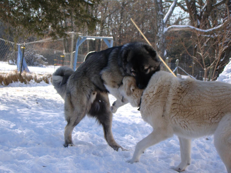 Соперничающие волкодавы