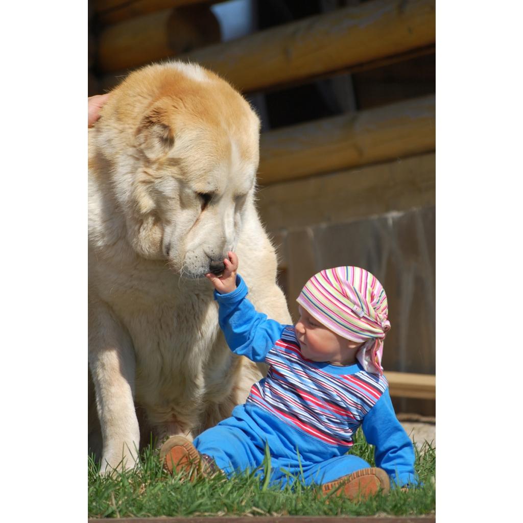 Спокойствие и уравновешенность алабая позволяют ему находить общий язык даже с детьми