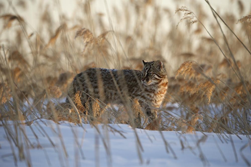 Среди высоких камышей амурский кот чувствует себя в безопасности