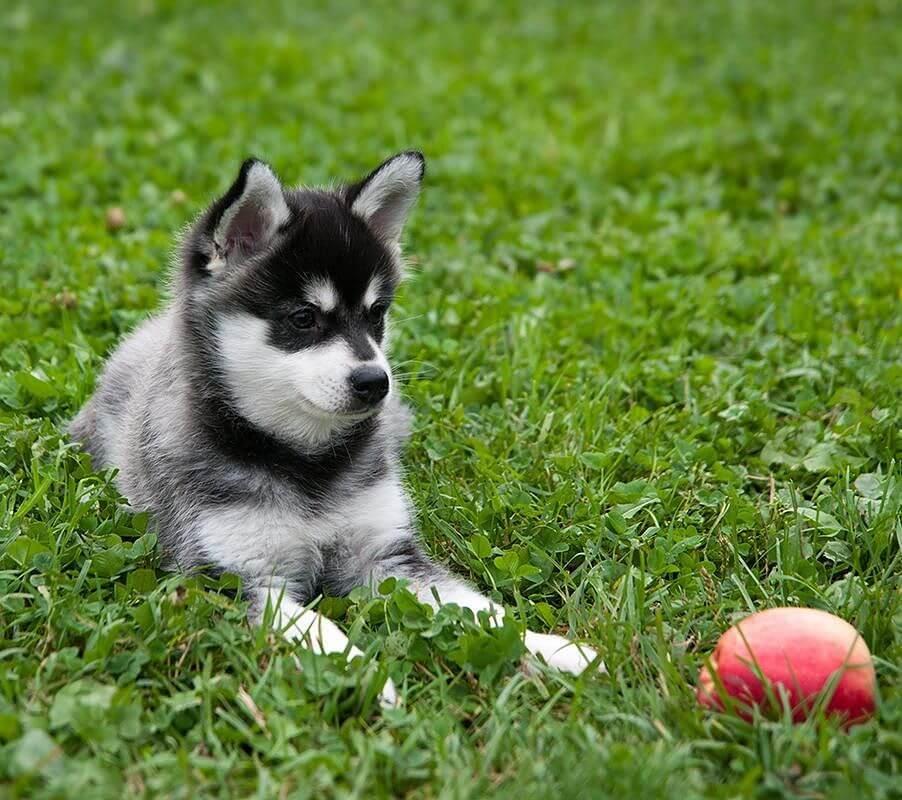 У здорового щенка пушистая мягкая шерсть