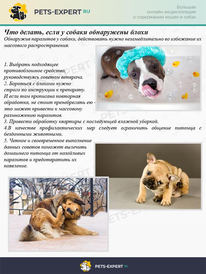 Что делать, если у собаки обнаружены блохи