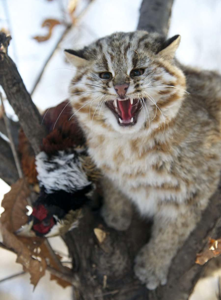 Шипение издаваемое леопардовым котом почти неразличимо для человеского уха
