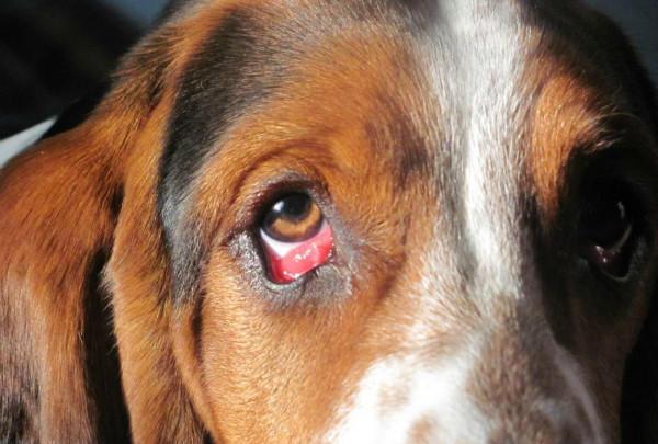 Эктропион - выворот век у собак