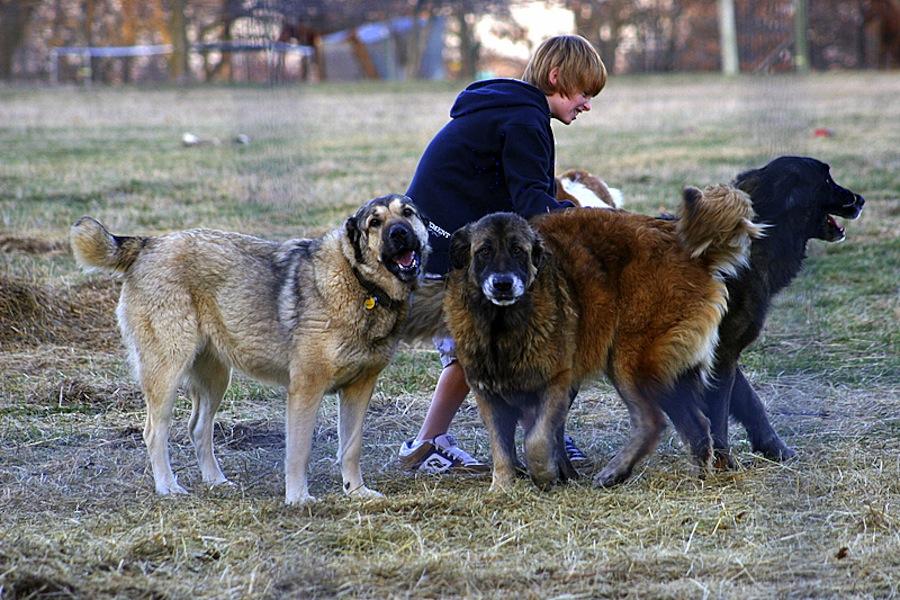 Эмоциональная связь с хозяином необходима волкодаву