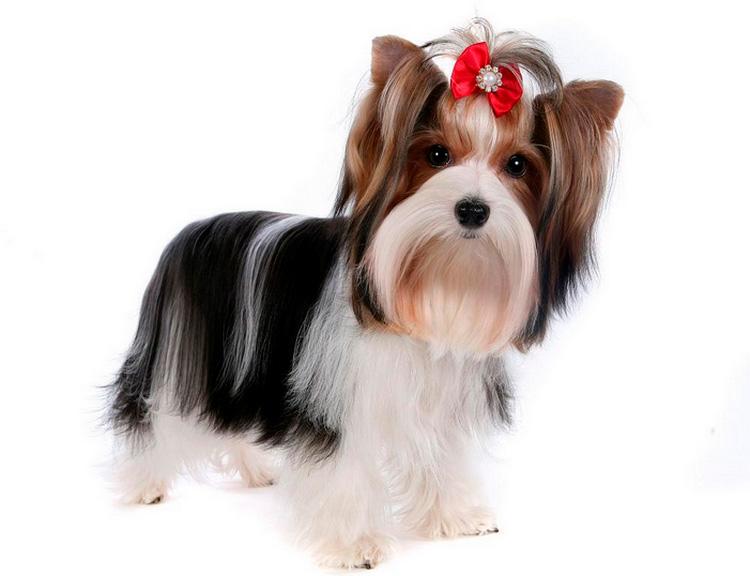 Это собака появилась в качестве самостоятельной породы в конце XX века