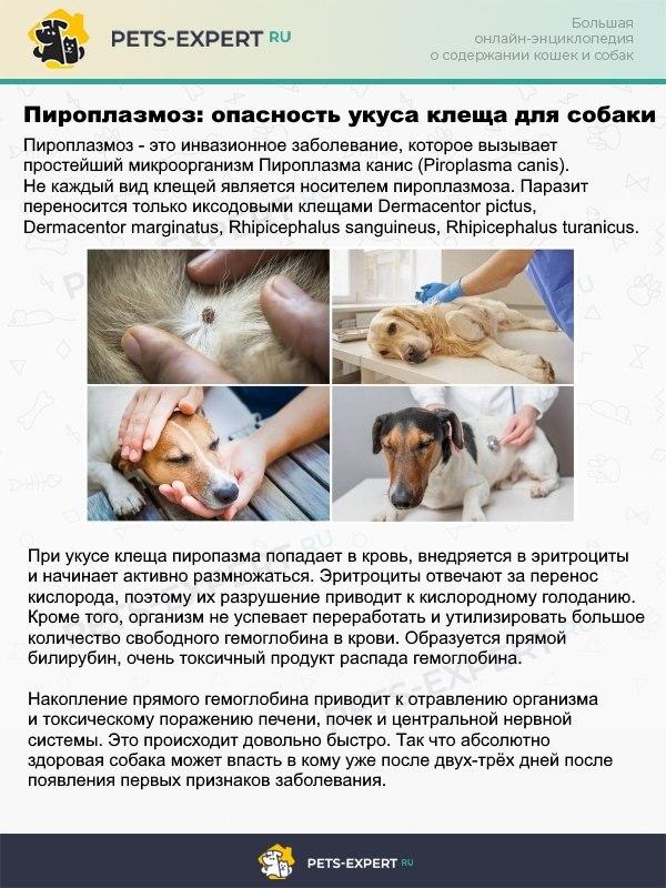 Пироплазмоз - смертельно-опасное для собак заболевание