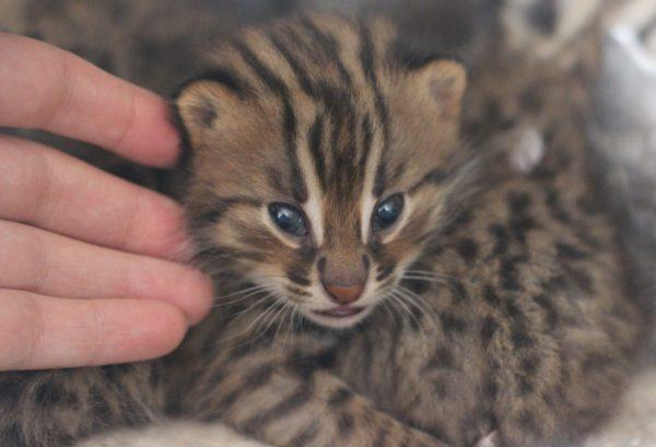 Глаза амурских котят имеют глубокий синий оттенок, который позже исчезает