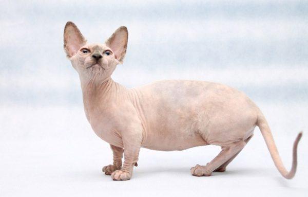 Внешне даже взрослая кошка-бамбино напоминает котёнка