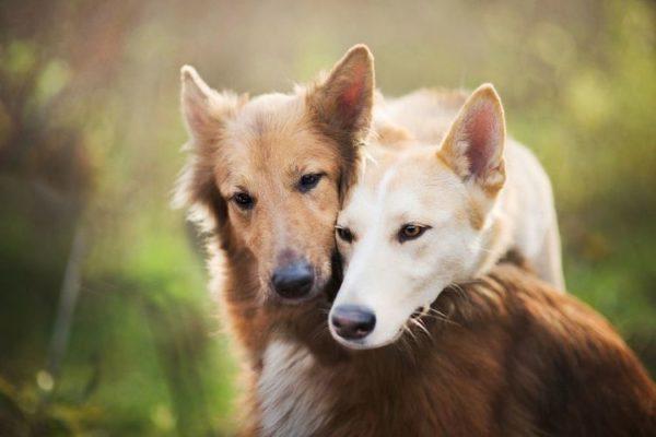 Аденовирус передается от больного животного, или животного, являющегося носителем вируса, к здоровому
