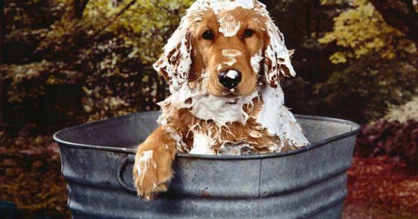 Многие владельцы моют собаку, и следом же чистят ушки