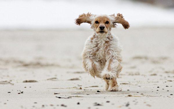 Американские спаниели – собаки подвижные и энергичные