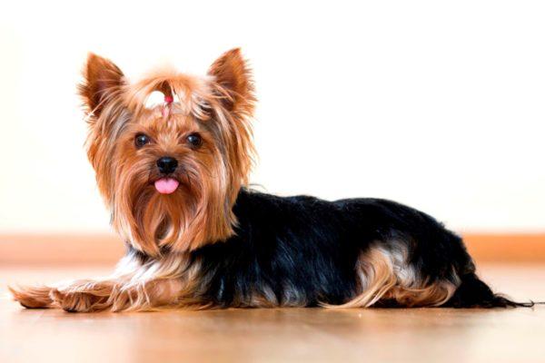 Среди собачьих пород наиболее подвержены хейлетиозу пуделя, болонки и йоркширские терьеры