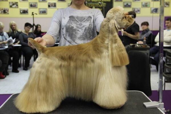 Ухоженная шерсть – главное украшение американского кокер спаниеля
