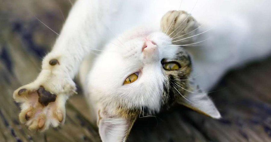 Бег в колесе позволяет кошке выплеснуть энергию