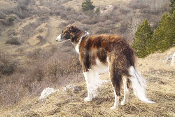 Добычу эти собаки могли не только преследовать и убивать, но и удерживать до тех пор, пока хозяин их не нагонит