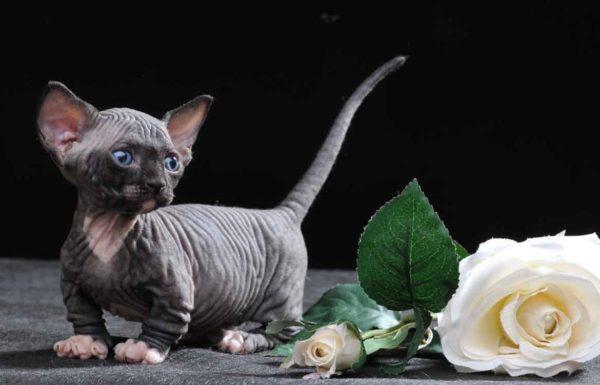 Котят Бамбино достаточно сложно найти в России