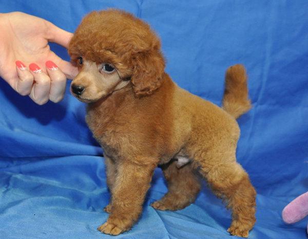 Актировка щенка - процедура платная