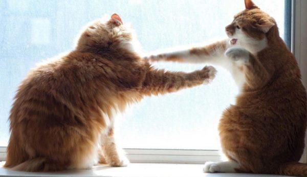 Коты более агрессивно проявляют свой характер
