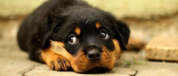 Среди людей, когда-то продавших щенков, в норме вещей принимать их обратно даже в том случае, когда недобросовестный хозяин откажется от животного по достижению собакой уже вполне взрослого возраста