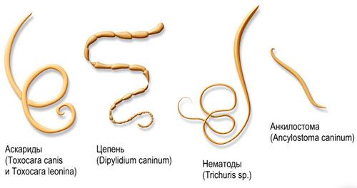 Паразиты могут стать причиной гемолитической анемии