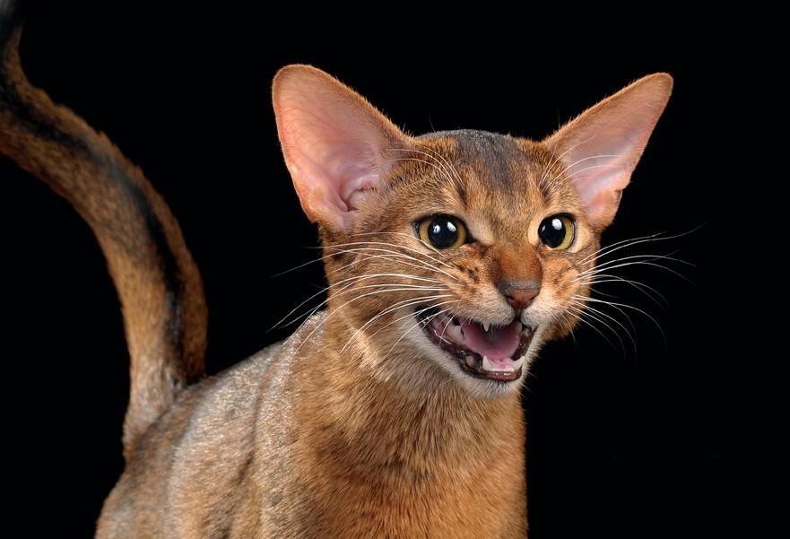 Абиссинские кошки умеют постоять за себя, когда это требуется
