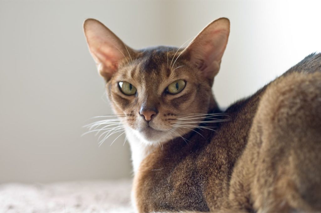 Абиссинский кошек можно смело назвать долгожителями