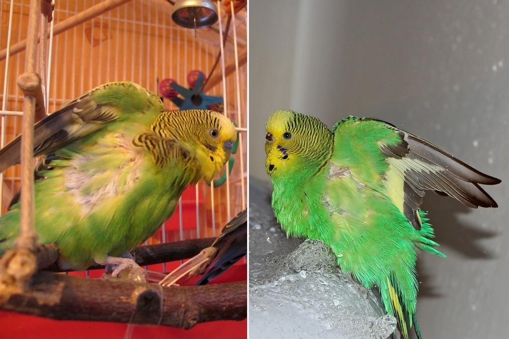 Аверсектин С устраняет дерматологические нарушения и у птиц