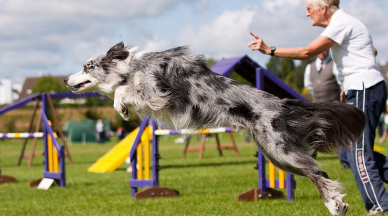 Аджилити для собак: что это