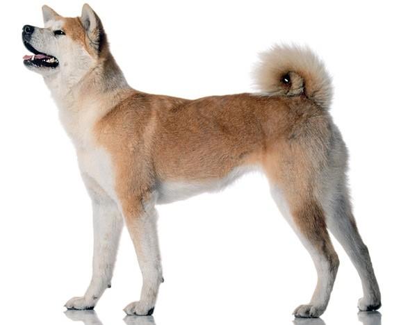 Акита-ину - собака независимая