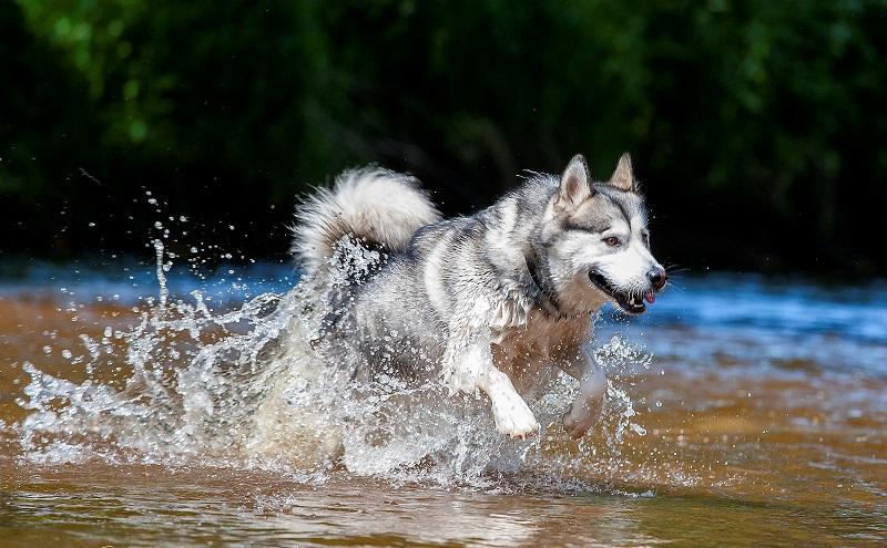 Активному аляскинскому маламуту сложно усидеть на месте без дела