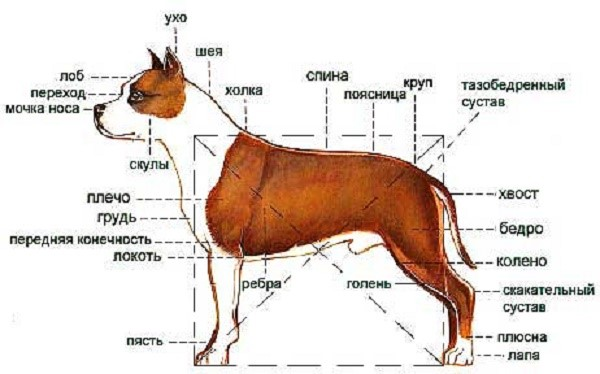 Албанский питбуль не соответствует требованиям к экстерьеру породы, следовательно, не признан чистой разновидностью питбультерьеров