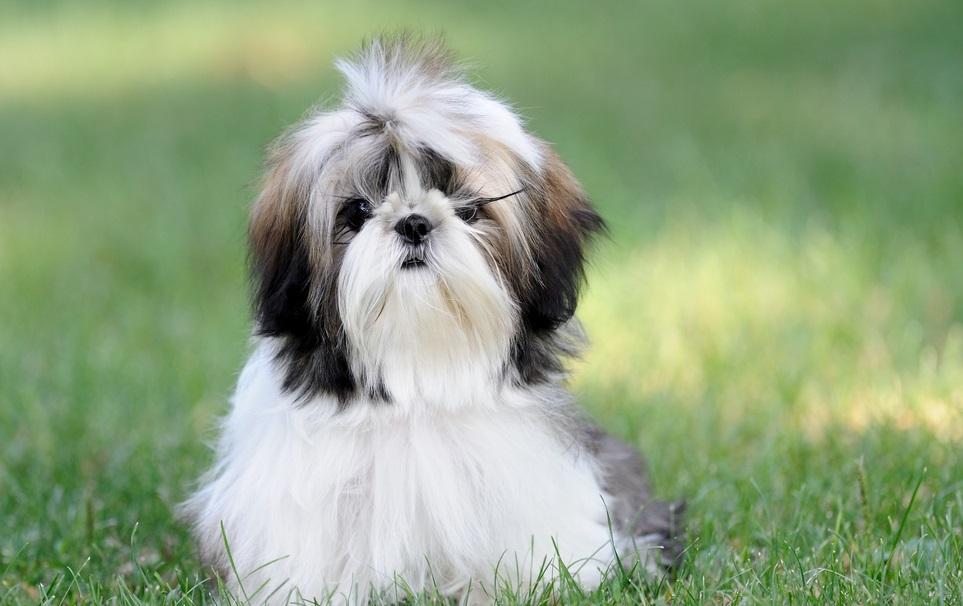 Аллергикам подойдут малогабаритные нелиняющие собаки. К примеру, Ши-тцу
