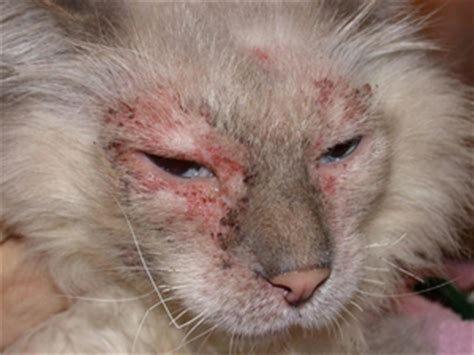 Аллергические высыпания у кошки