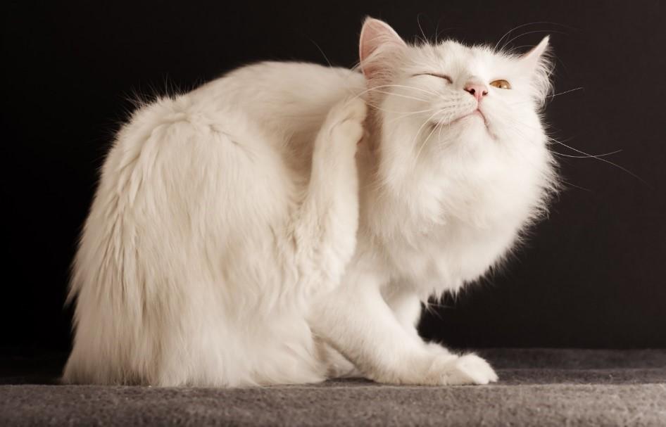 Аллергия на антибиотики у кошек может проявляться сильным зудом