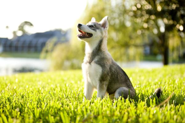 Аляскинский кли-кай – достаточно легкая в уходе собака