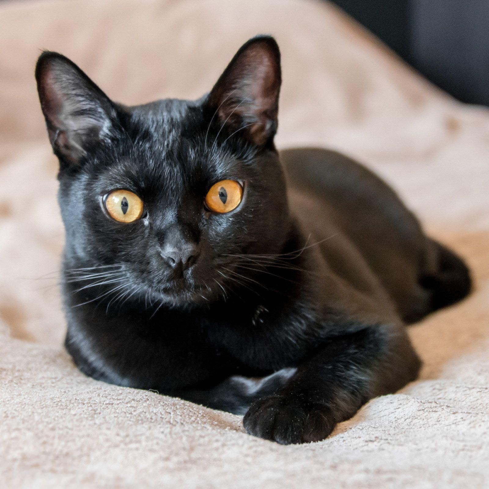 Американская бомбейская кошка