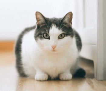Анализ мочи у кошек