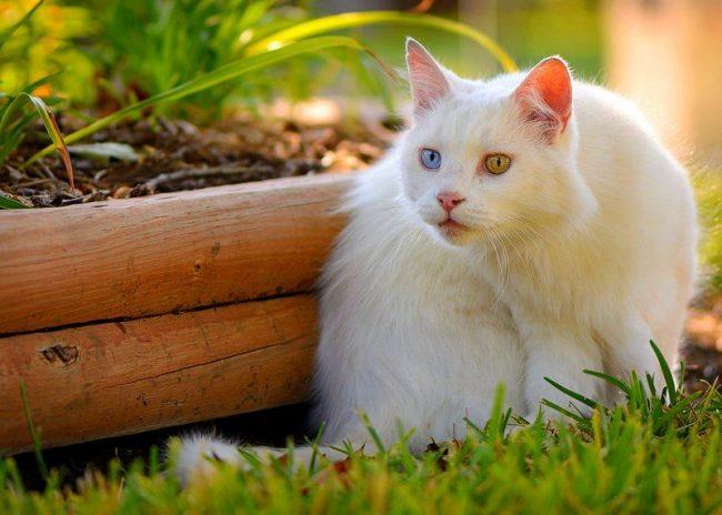 Ангорские кошки непоседливы, монотонный образ жизни им придется не по нраву