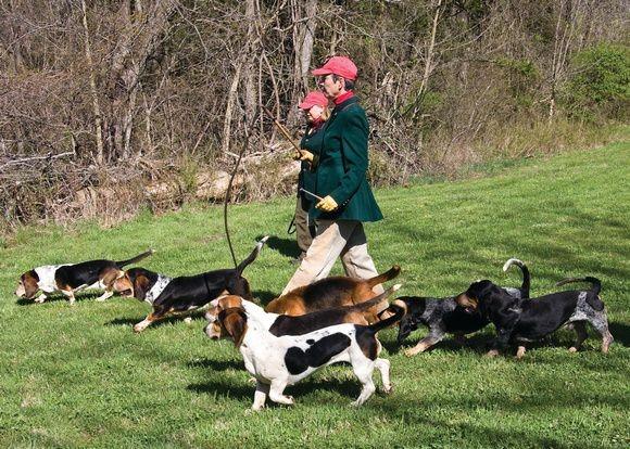 Бассеты участвуют в охоте