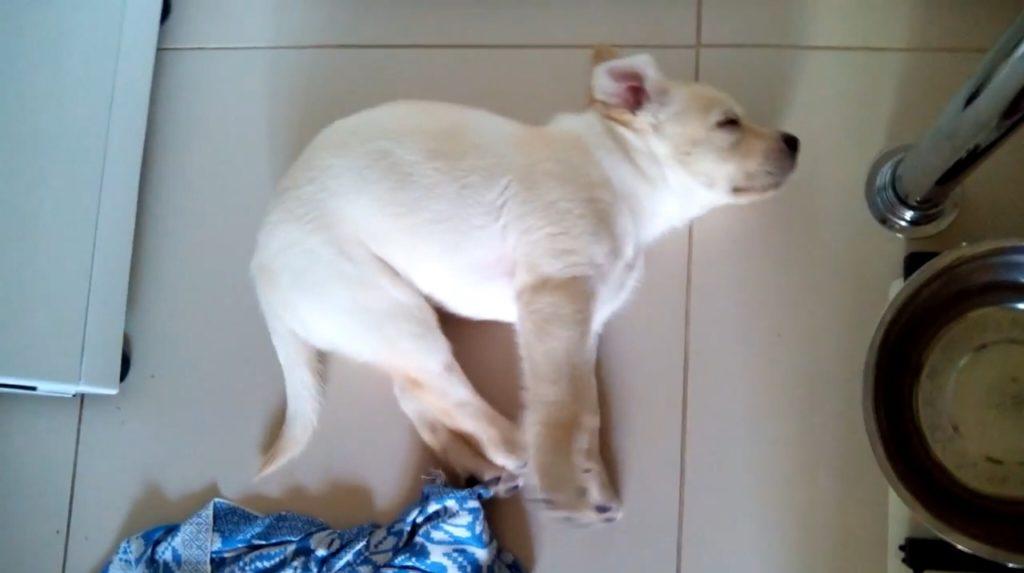 Бег во сне, в особенности для щенков, естественен