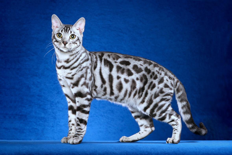Белая бенгальская кошка - большая редкость среди прочих представителей породы