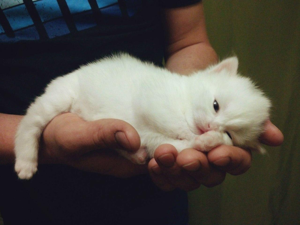 Белоснежный окрас котенок чаще всего наследует у родителей