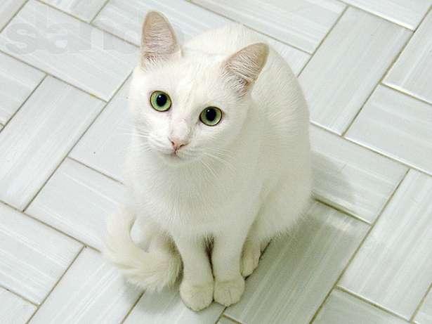 Белый кот, согласно приметам, притягивает к себе только хорошее