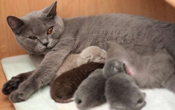 Иногда во время восстановления после родов кошка отказывается от пищи