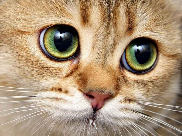 Красные глаза у кошки как симптом заболевания
