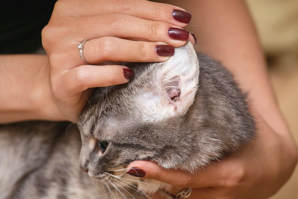 Болезни ушей у кошек