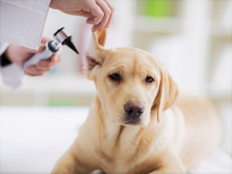 Болезни ушей у собак