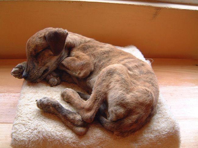 Болезнь Карре является смертельно опасной болезнью домашних животных