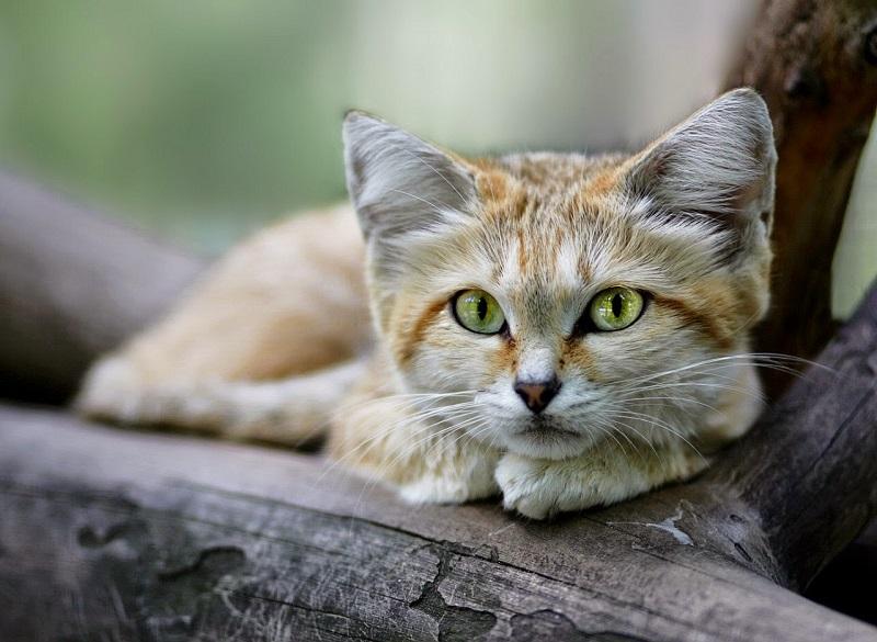 Большие глаза песчаного кота могут подвести его в момент столкновения с врагом