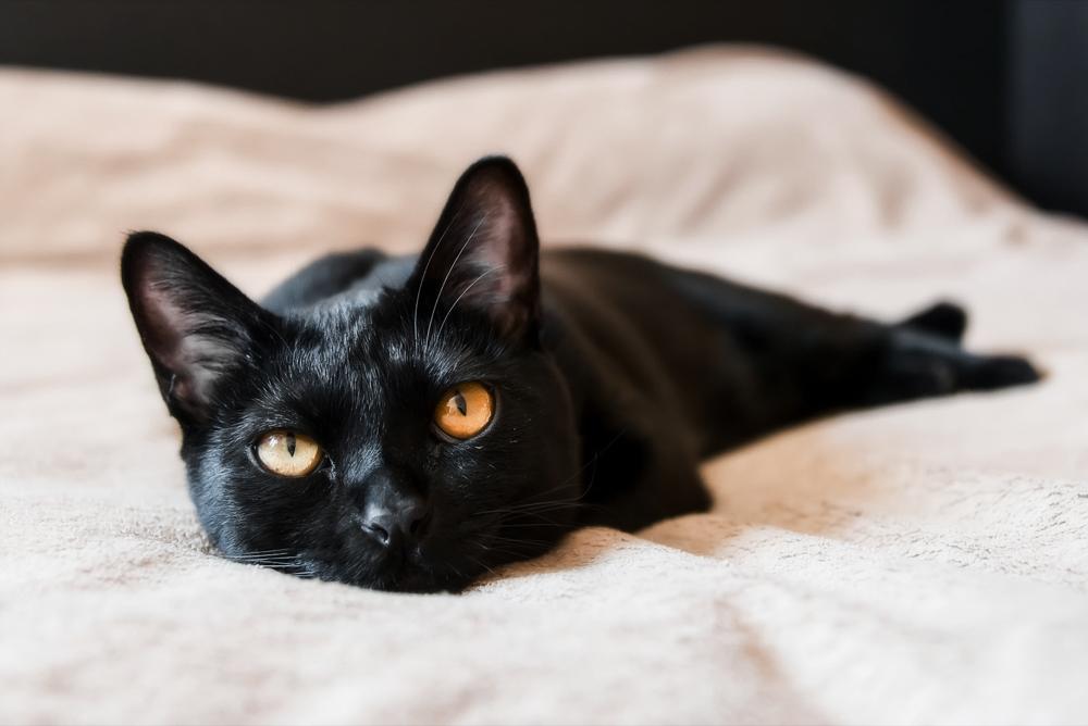 Бомбейская кошка обладает черной, блестящей шерстью